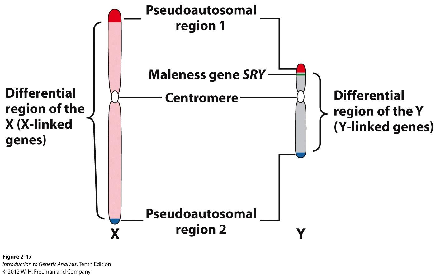 Chromosomes human sex