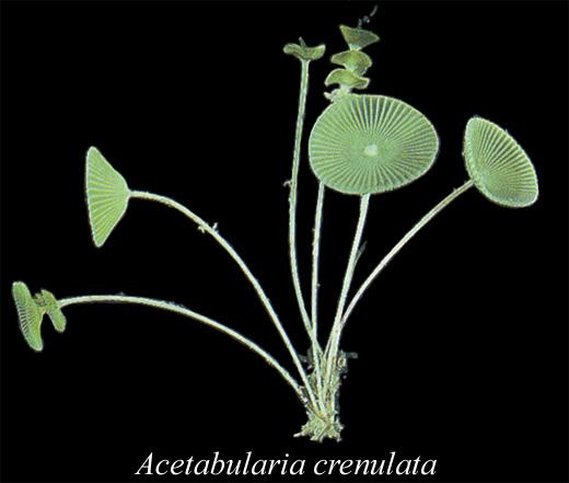 Acetabularia crenulata